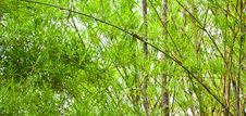 Free The Verdure Bamboo Leaves,stems Stock Photography - 20993222