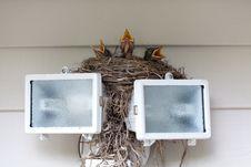 Free Baby Robins Stock Photos - 20993283