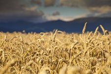 Free Rye Field Close-up Royalty Free Stock Image - 20993786