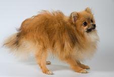 Puppy Of Breed A Pomeranian Spitz-dog Royalty Free Stock Photo