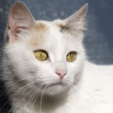 Free Cat Portrait Stock Image - 20994751