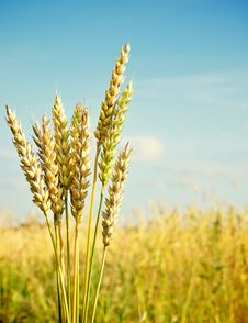 Free Gold Ears Of Wheat Stock Photos - 20995033