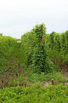 Free Bean Plant Stock Photo - 20995440