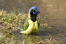 Free Bathing Green Jay Royalty Free Stock Images - 20995599