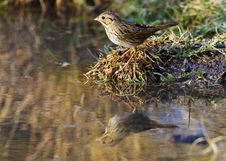 Free Lincoln S Sparrow At Water Stock Photo - 20995650