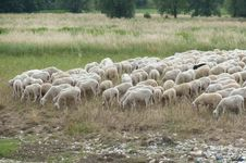 Free Flock Of Sheep Royalty Free Stock Photography - 20995807