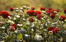 Free Red Mums In The Sun Stock Photo - 20996200