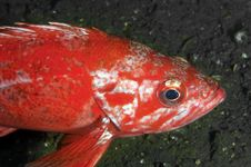 Vermillion Rock Fish Royalty Free Stock Photography