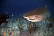 Tiger Shark Royalty Free Stock Photos