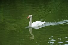 Free Swan Stock Photography - 20996482
