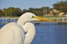 Portrait Of Great Egret Royalty Free Stock Image