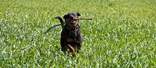 Free Rottweiler Running Royalty Free Stock Photos - 20996918