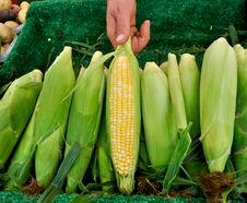 Free Organic Corn At Farmers Market Royalty Free Stock Photo - 20997005