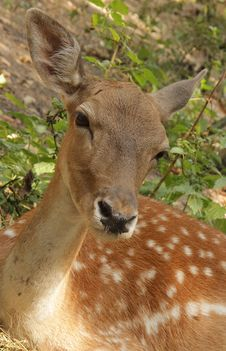 Free Roe Deer Royalty Free Stock Photos - 20997338