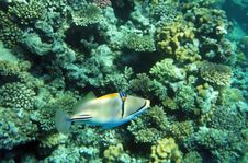 Free Bluefaced Angelfish Royalty Free Stock Photography - 20997637