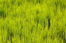 Free Rice Seedlings Stock Photo - 20998030