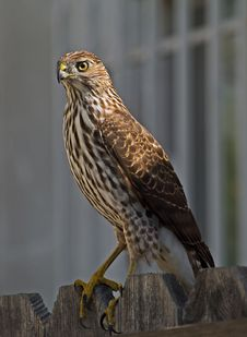 Hawk Standing On A Fence In My Front Yard. Royalty Free Stock Photos