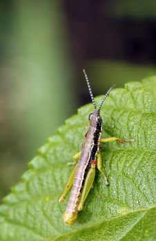 Free Grasshopper Stock Photography - 20999522