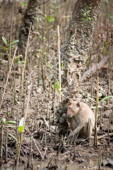Free Monkey In Mangrove Forest Royalty Free Stock Image - 20999836