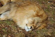 Free Sleeping Lion Stock Photo - 210350