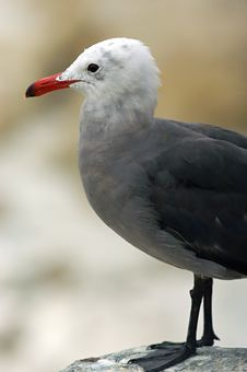 Free California Seagull Stock Photo - 211230