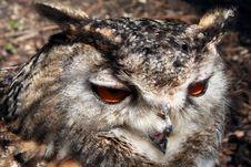Free Owl Closeup Stock Image - 212051