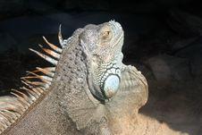 Free Iguana Royalty Free Stock Photography - 212057
