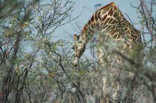 Free Giraffe In Etosha Stock Photo - 212580