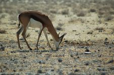 Free Springbok In Etosha 2 Royalty Free Stock Photo - 212625