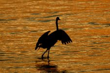 Free Twilight Egret Dance Royalty Free Stock Photos - 213488