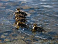 Free Lining Up Of Little Ducklings Stock Photos - 214103