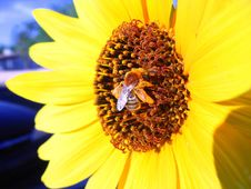 Free Bee On Yellow Flower Royalty Free Stock Image - 216346
