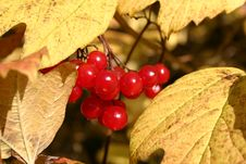 Free Red Berries Yellow Leaves Royalty Free Stock Photos - 216618