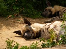 Free Hyena [1] Royalty Free Stock Photos - 217278
