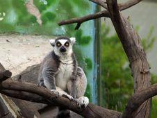 Free Lemur Stock Photos - 217283