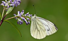 Free Butterfly And Buddliea Stock Photos - 217683