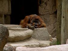 Free Orangutan Royalty Free Stock Images - 218279