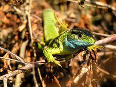 Free Lizard Stock Photos - 218753