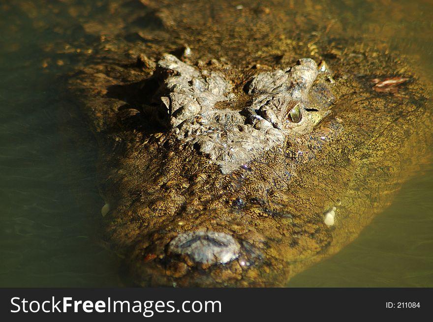 Nile crocodile 5