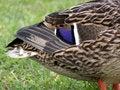 Free Mallard Duck Closeup Royalty Free Stock Photography - 2103297