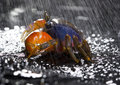 Free Crab In The Rain Stock Photo - 2104510
