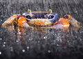 Free Crab In The Rain Royalty Free Stock Photo - 2104555