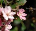 Free Honeybee In Flight Royalty Free Stock Images - 2109339