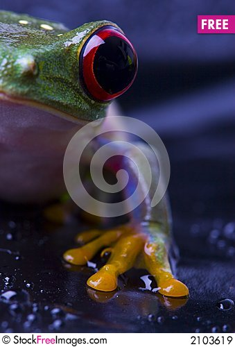 Free Frog Royalty Free Stock Images - 2103619