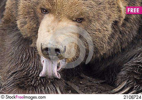 Free Kodiak Bear Licking Paw Stock Images - 2108724