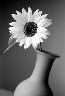 Free Sunflower In Vase Royalty Free Stock Image - 2100936
