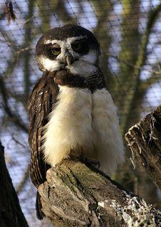 Free Owl Royalty Free Stock Photo - 2101095