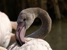 Free Flamingo Royalty Free Stock Photo - 2101135