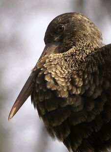 Free Brown Bird Royalty Free Stock Images - 2101139