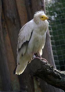 Free Eagle Royalty Free Stock Image - 2101156